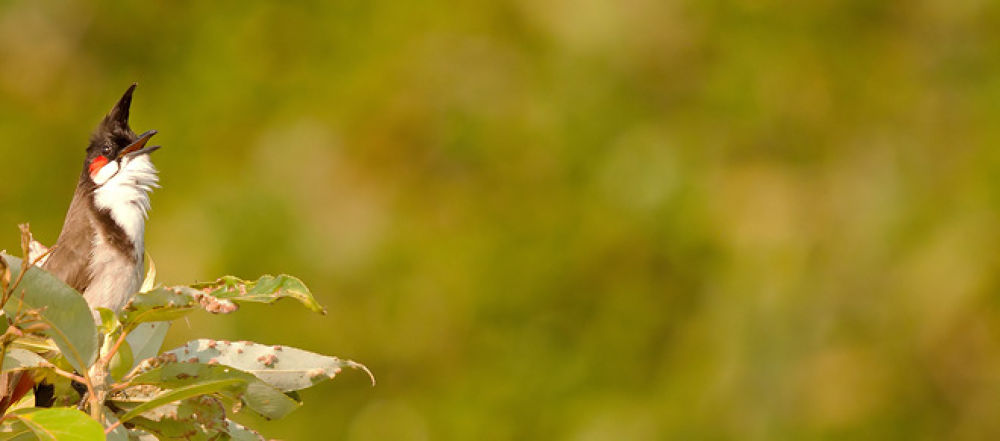 Red-whiskered Bulbul 01 by blackstallionphotography