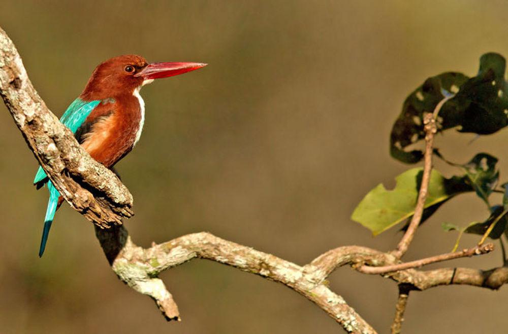 Photo in Animal #white #throat #kingfisher #bird #wildlife #india #branch #leaves #sunlit #brown #blue #red #beak #kabini #black #stallion #photography #igallopfree