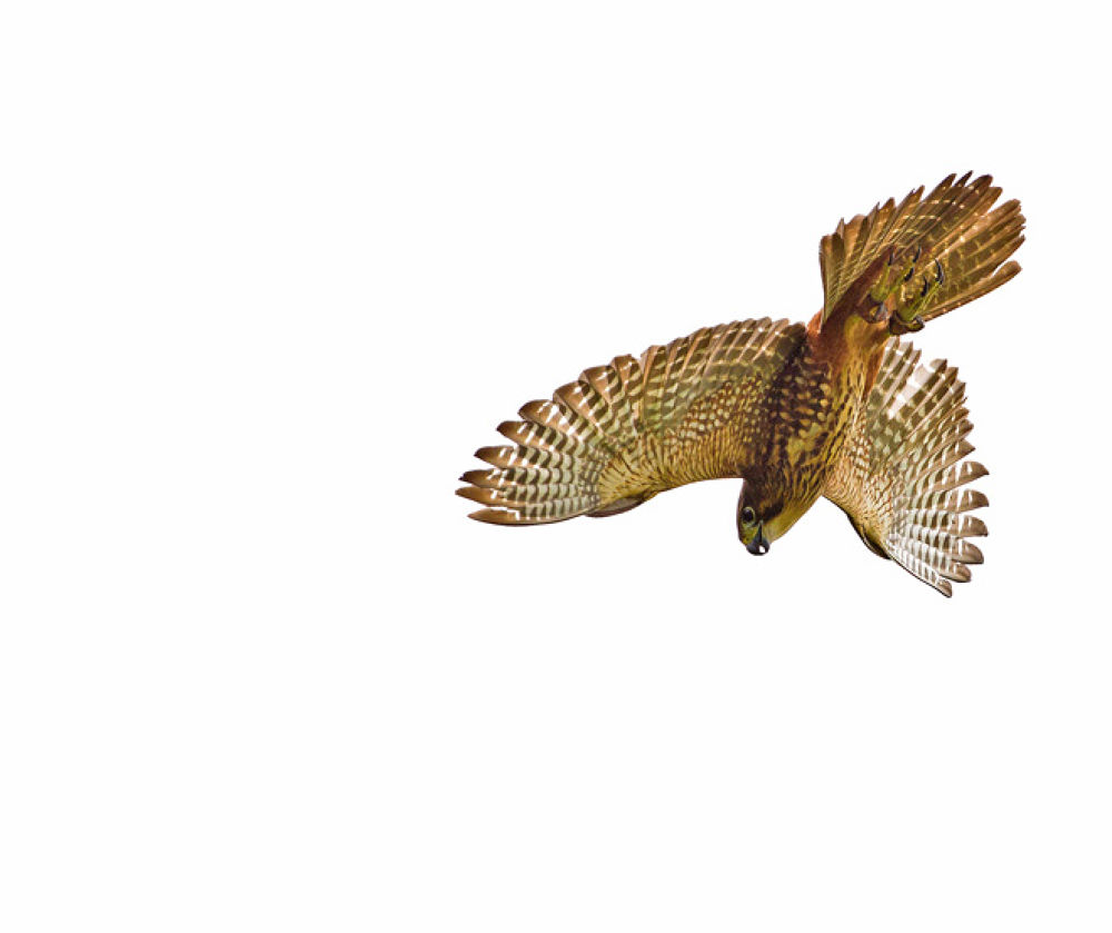 Photo in Animal #karearea #new zealand #falcon #bird #wildlife #high #key #image #outstretched #wings #tail #feathers #hooked #beak #talons #prey #brown #black #stallion #photography #igallopfree