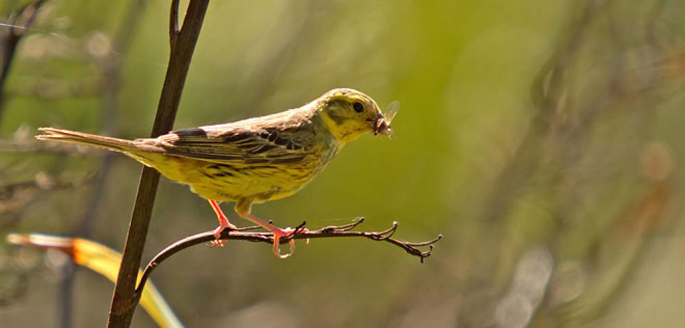 Yellowhammer NZ 02 by blackstallionphotography