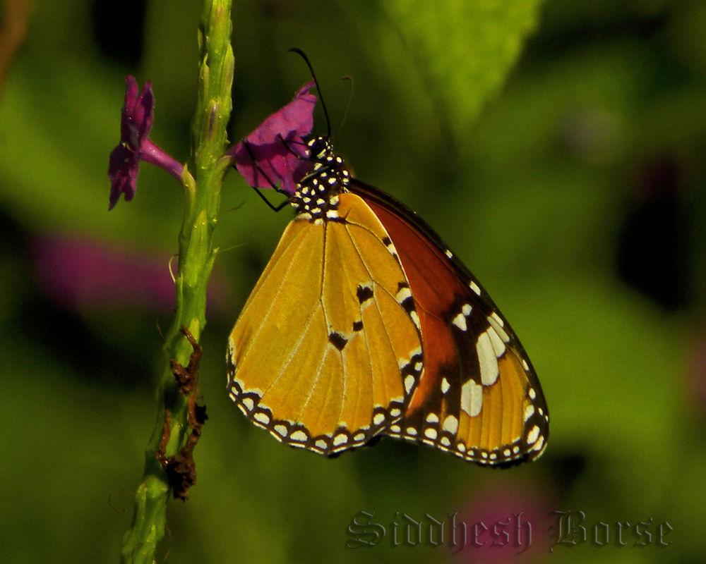 butterflyy by Dr.Siddhesh borse