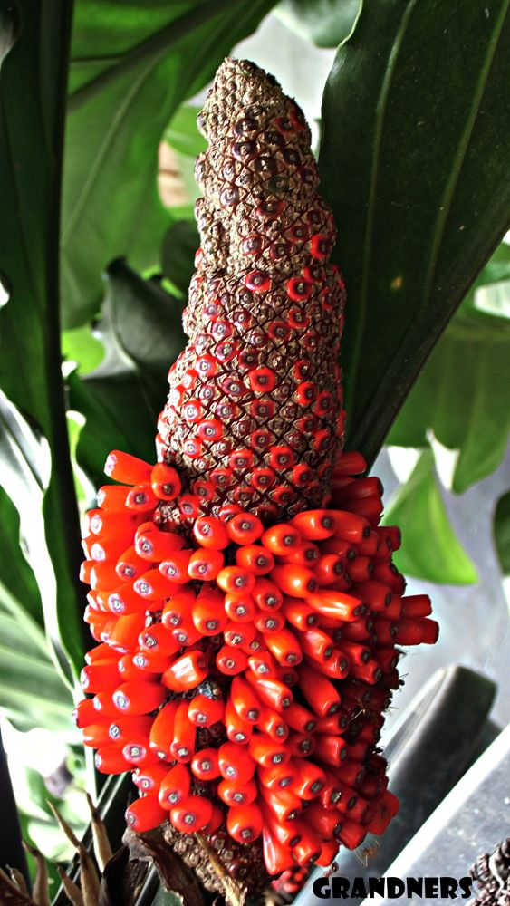 Seed  Anthurium Wave Love by suhartono