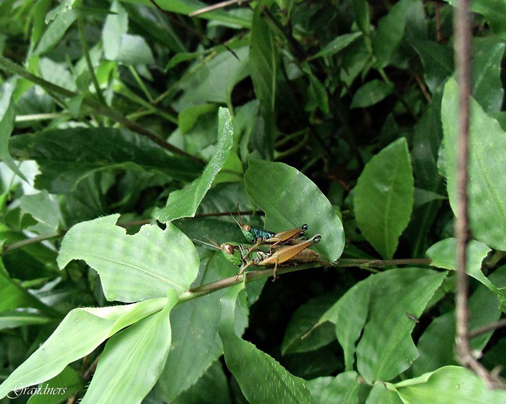 Grasshopper Mating by suhartono