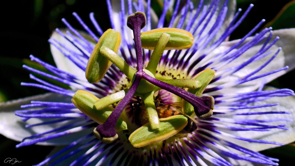 Passion Flower by Along the Trail