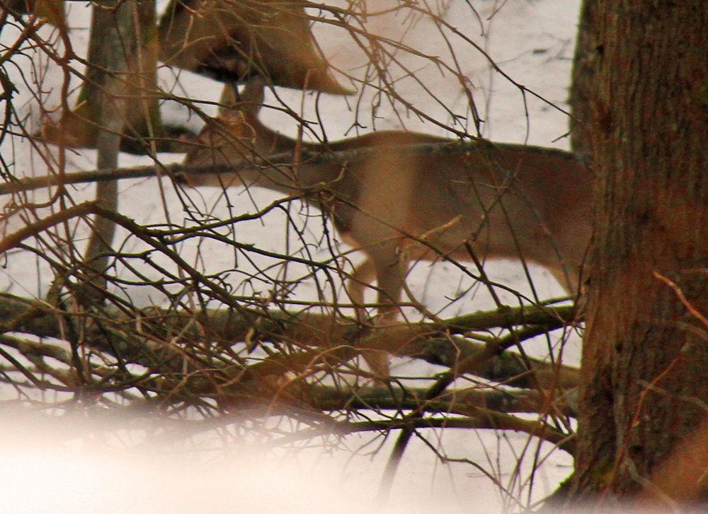 deer by jonandersen71