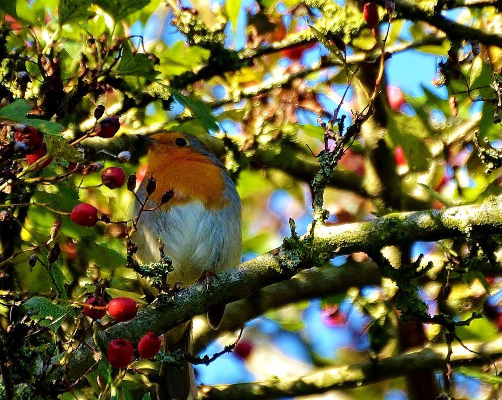 Robin by pepper012345