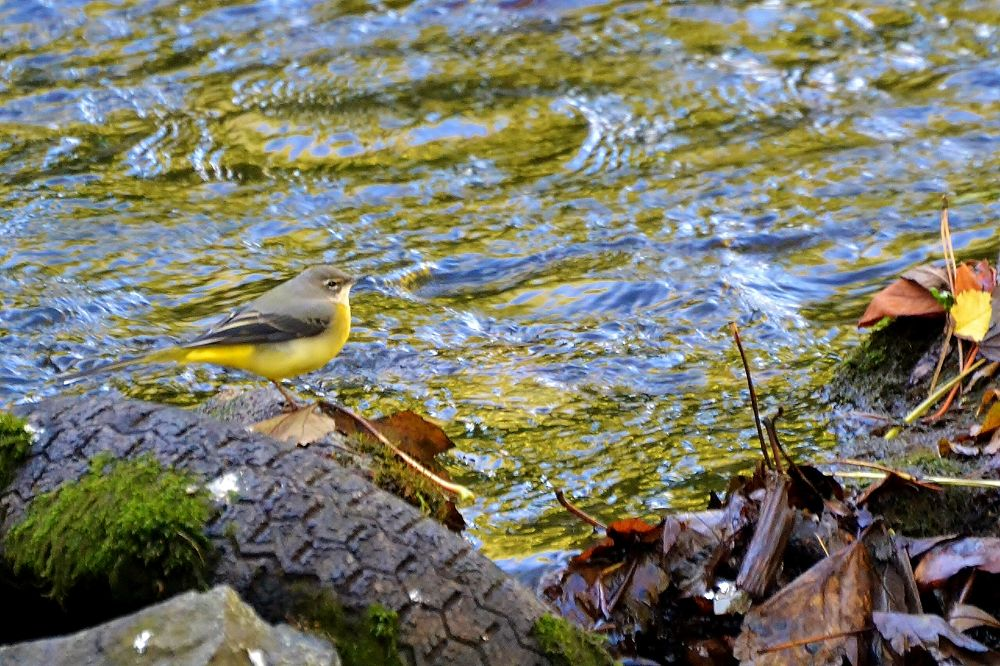 Grey Wagtail by pepper012345
