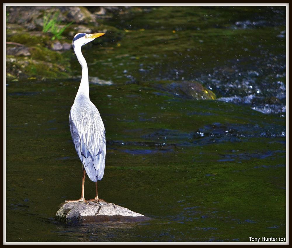 Grey Heron by pepper012345