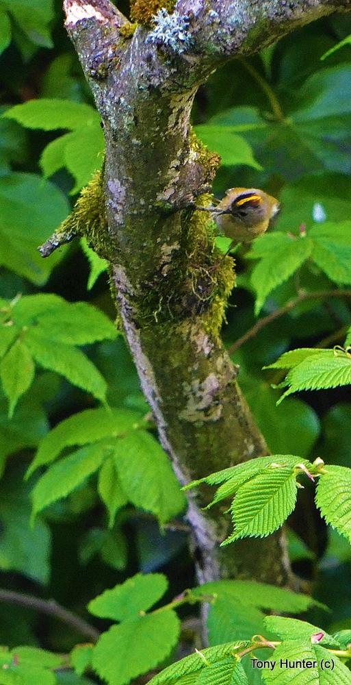 Goldcrest by pepper012345