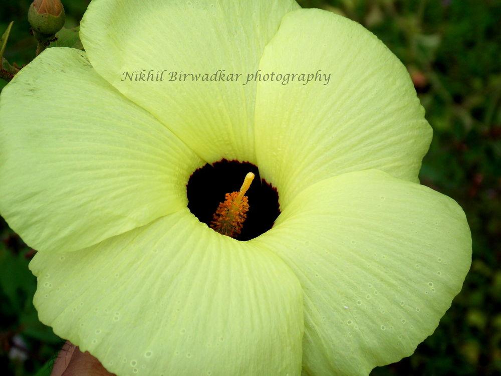 Flower by Nikhil Birwadkar