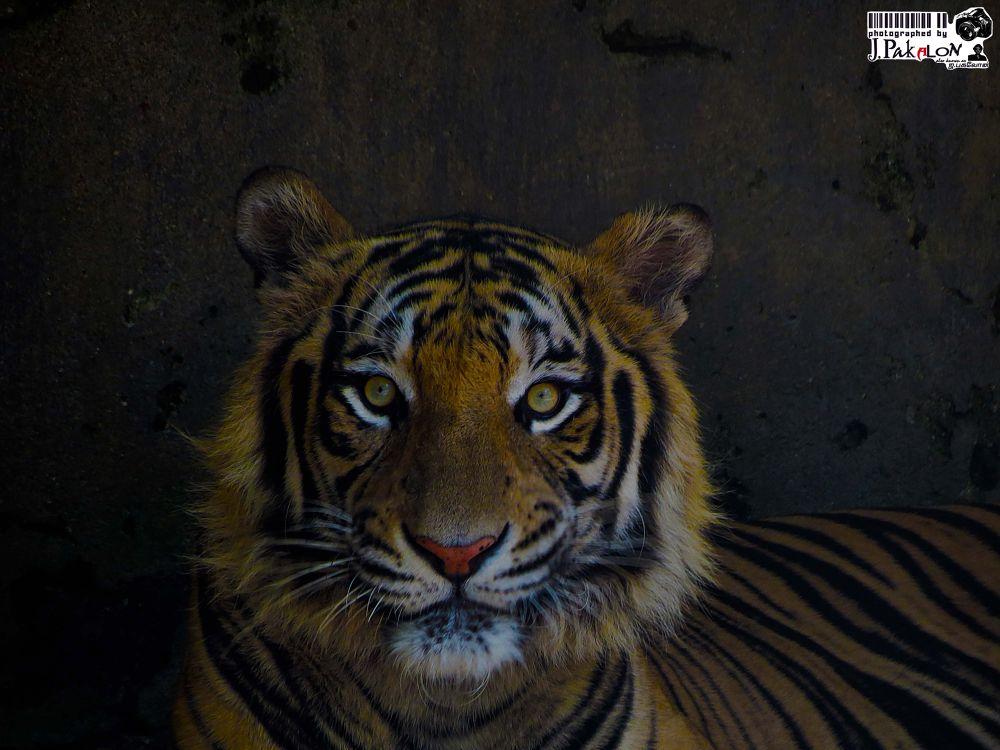 Photo in Animal #tiger #animal #nature #wildlife