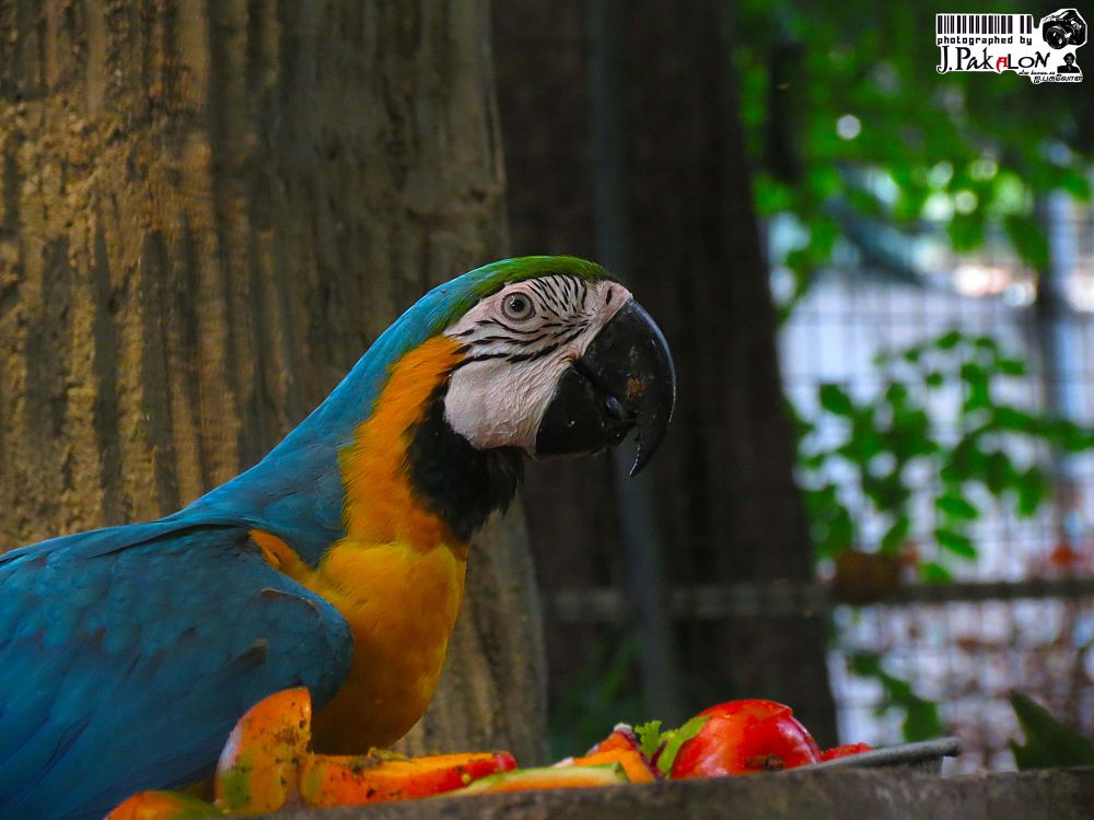 Macaw by PakalonPhotography