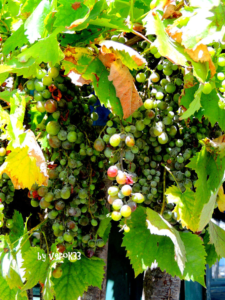 Bunch of grapes by verok33