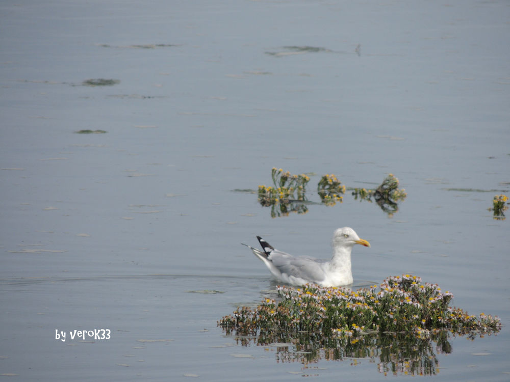 Seagull  by verok33