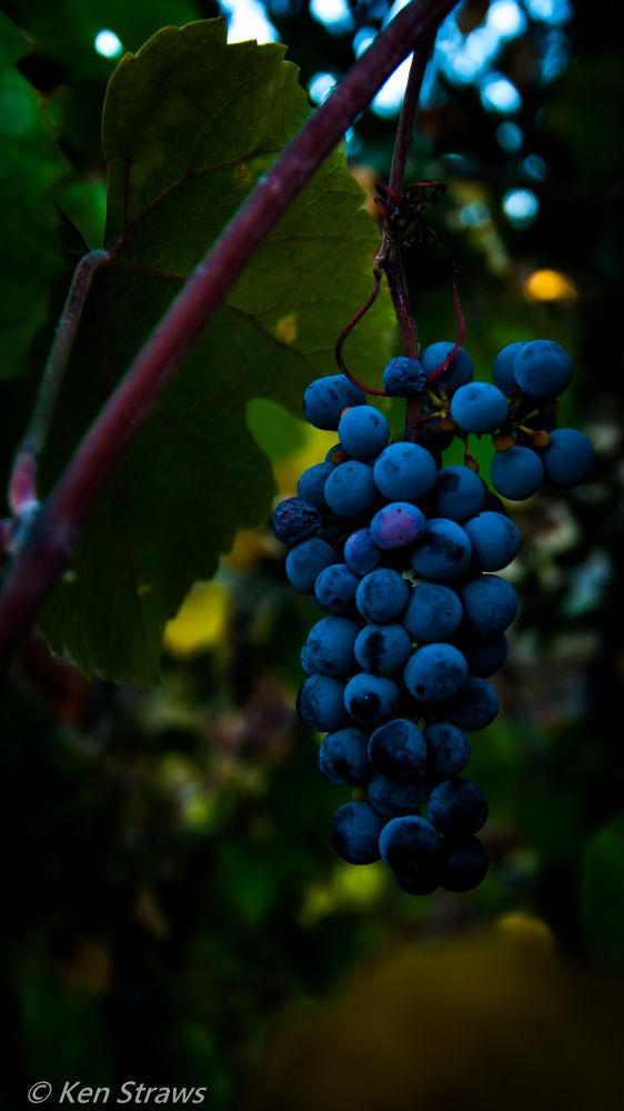Wild Grapes by Ken Straws