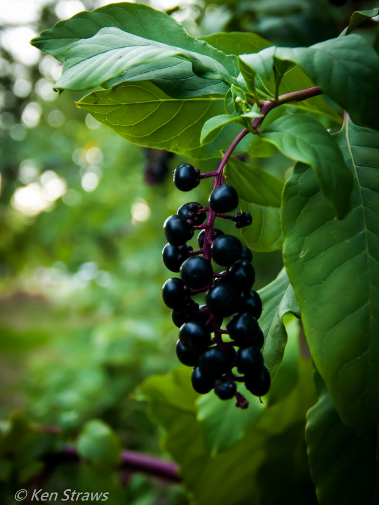 Wild Berries by Ken Straws