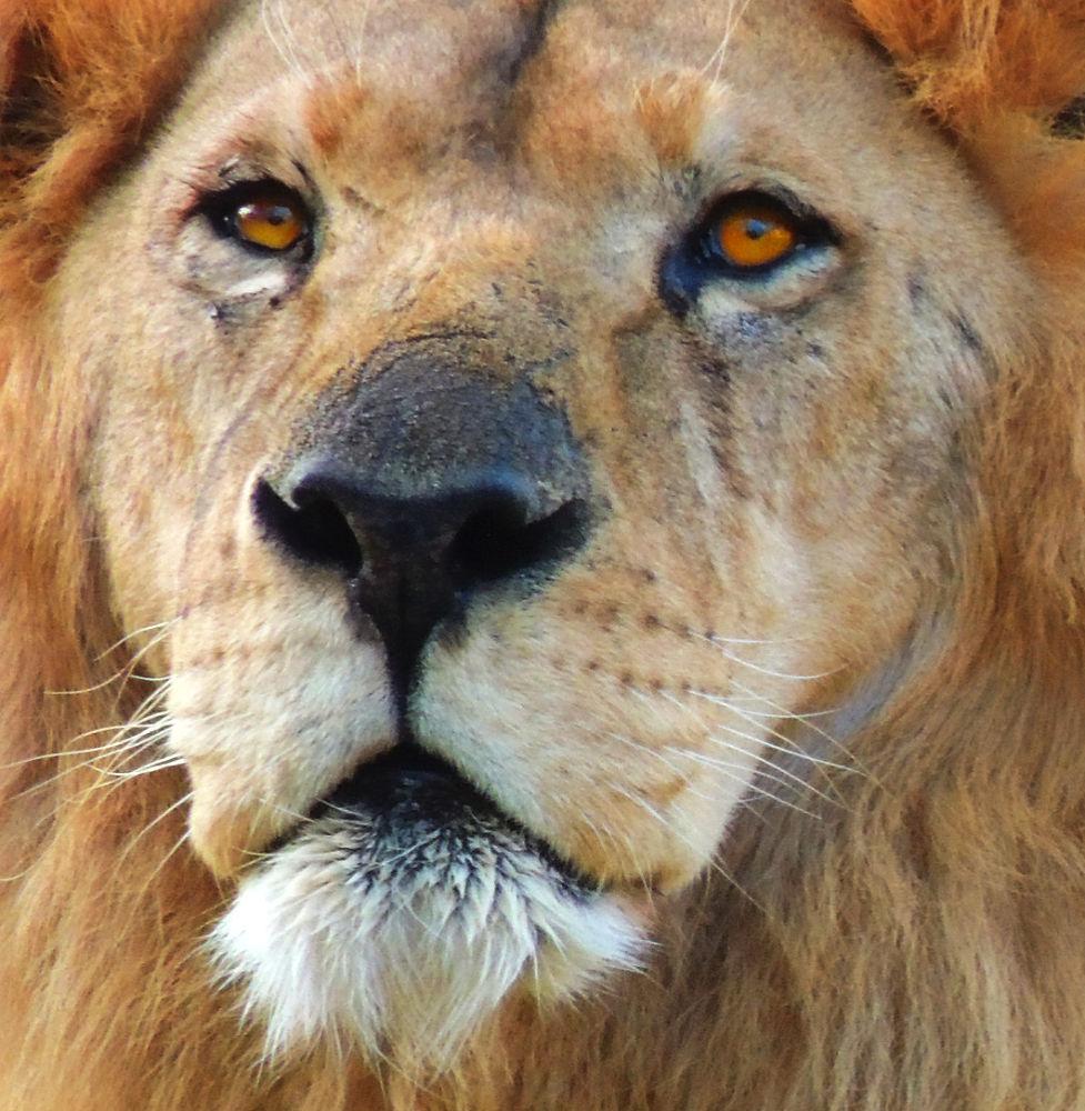 Lion by Valentino Luchesi