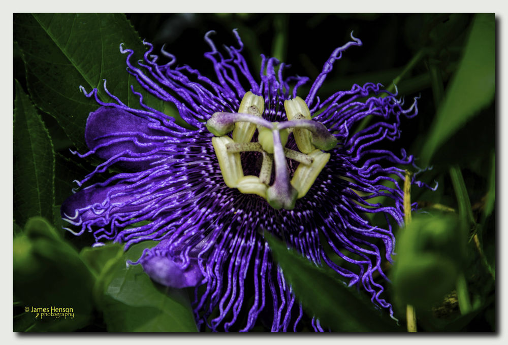Passion Flower by James Henson