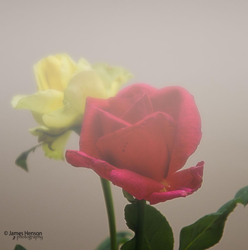 Roses in Fog by James Henson