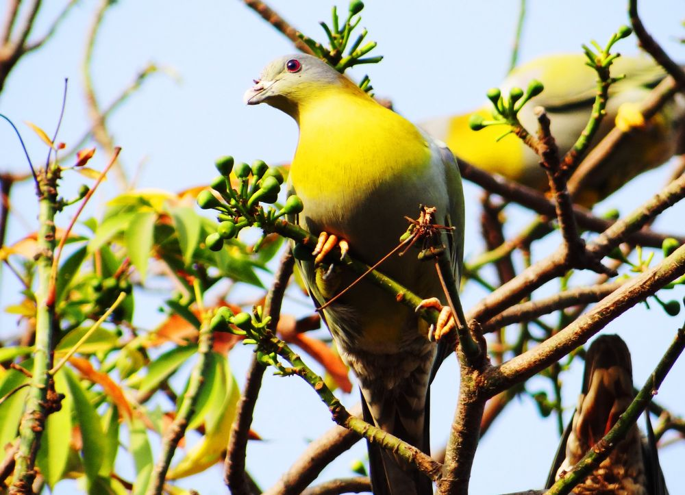Green Pigeon by Manabendra Bhattacharjee