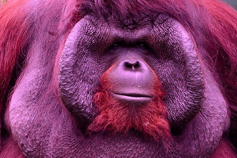 Orang Utan close-up by Yulius B Susilo