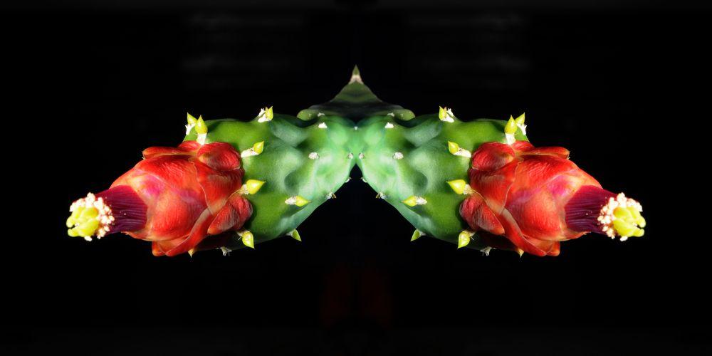 double cactus flowers by pawel2reklewski