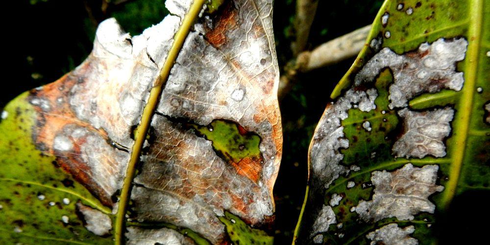 DSCN0797  feuille de manguier  by pawel2reklewski