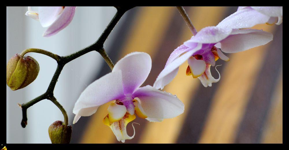 _DSC4172 pr  phalaenopsis at home  by pawel2reklewski