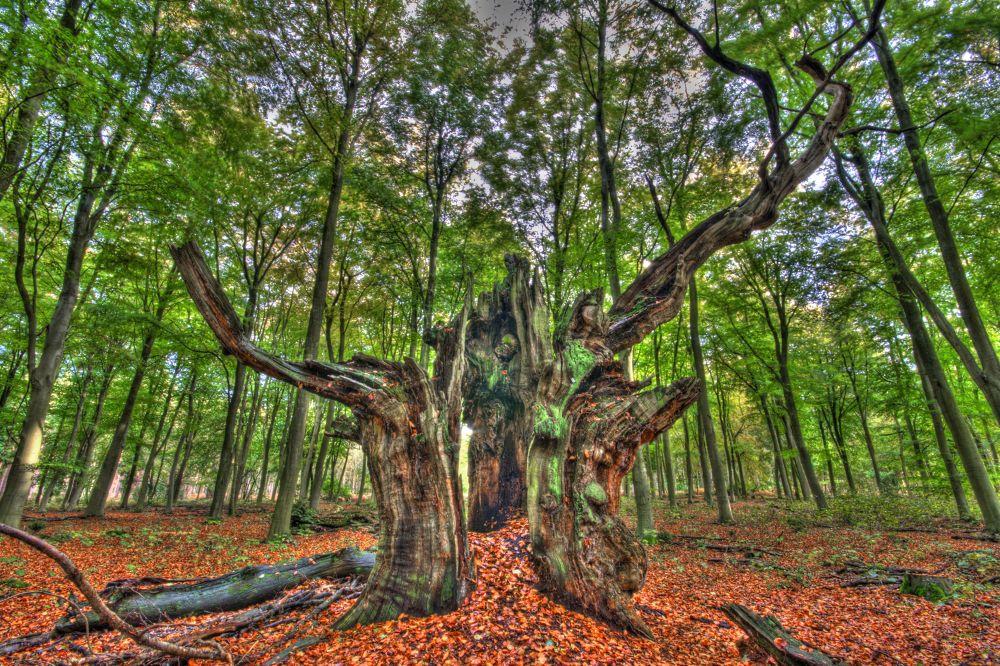 Ascot crown forest 4 by davidvalentyne