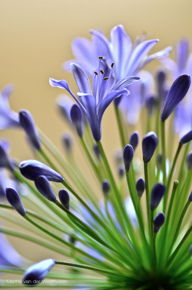 Photo in Nature #agapanthus #flower #bloom buds #purple #close-up #stems