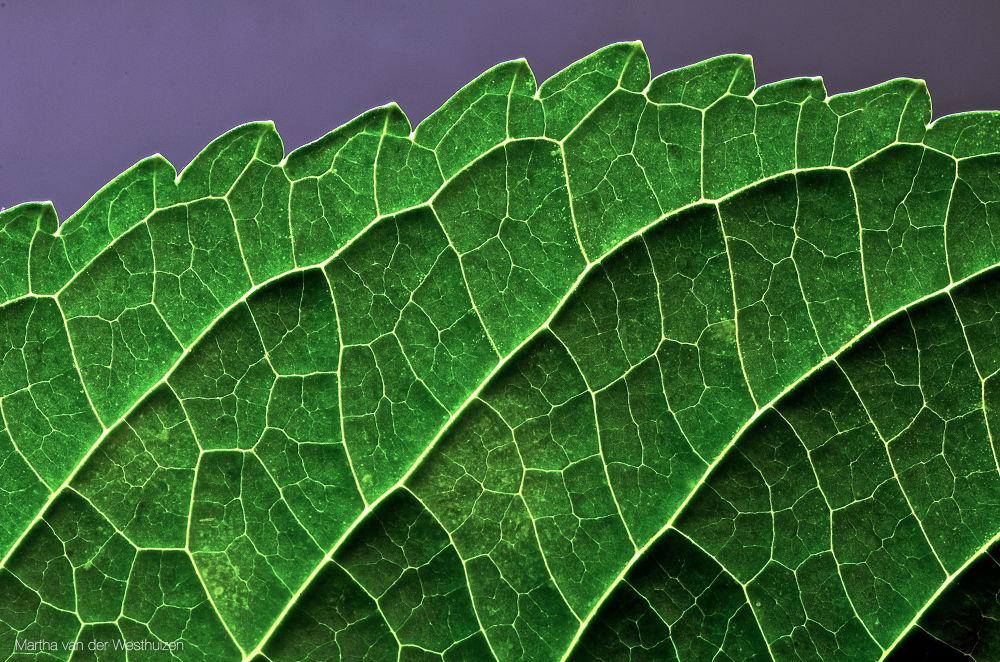 Photo in Macro #hydrangea #leaf #macro #detail #green #veins