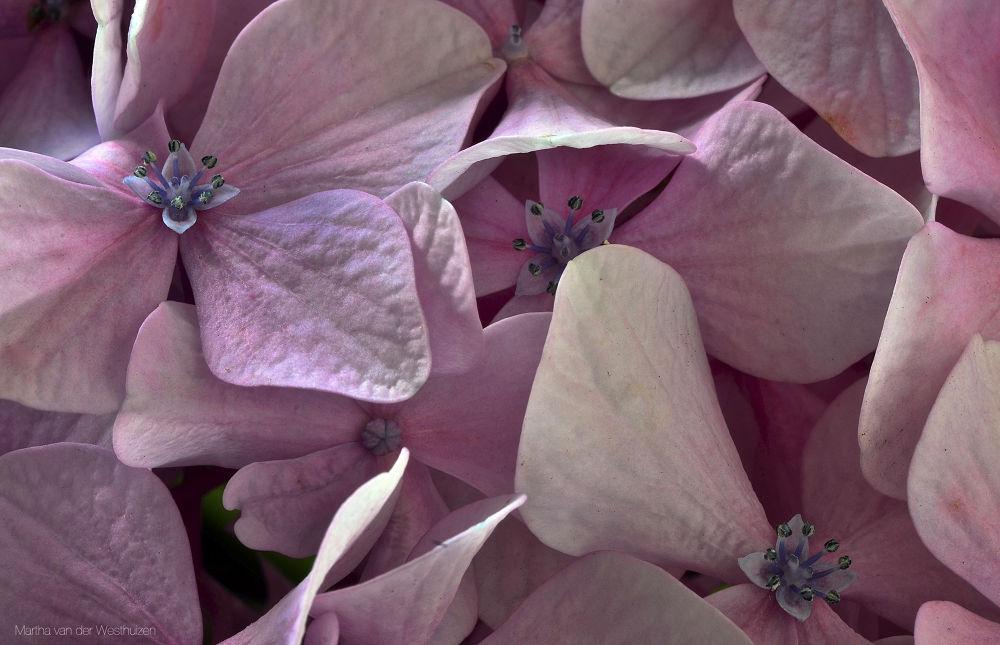 Hydrangea Bloom  by Martha van der Westhuizen