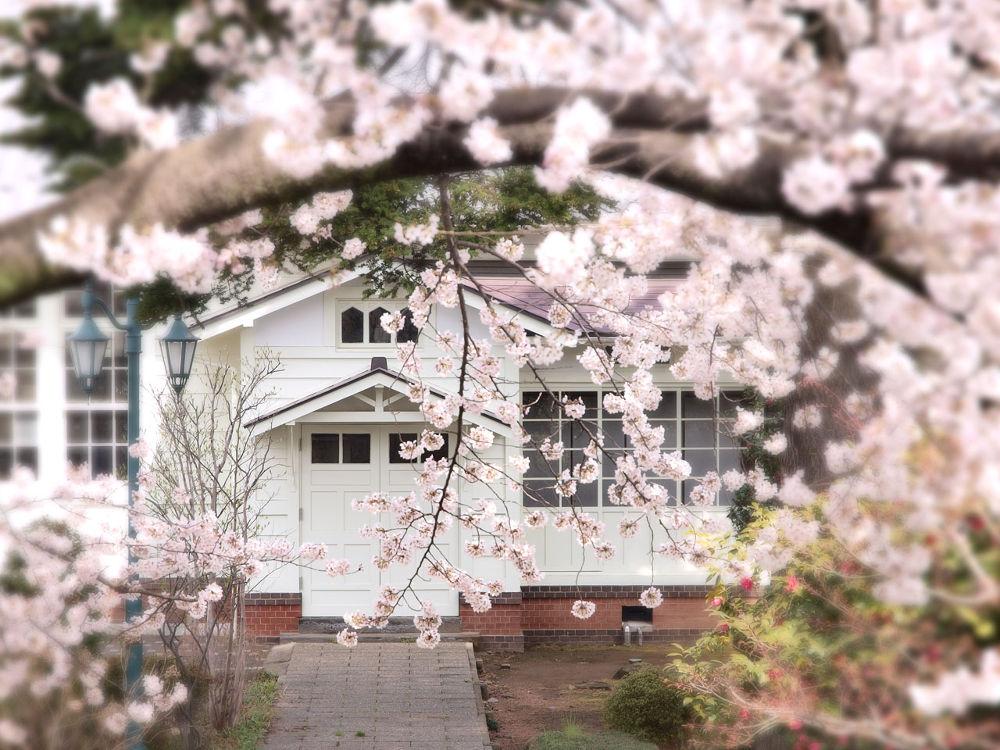 School blooming cherry tree by Yosuke Ito