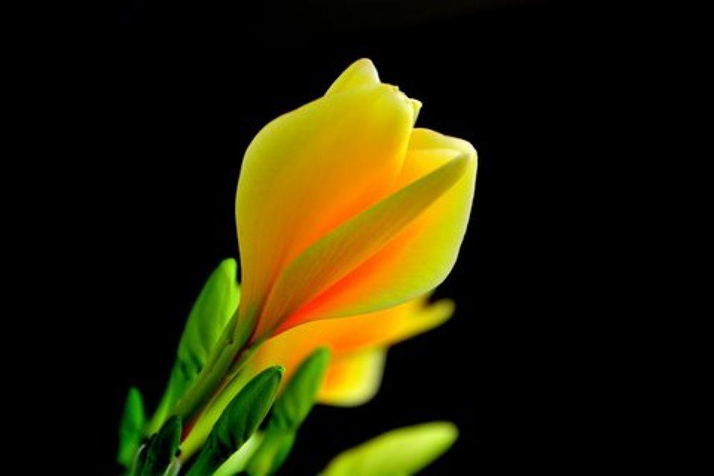 Bunga BALI:kamboja kuning by Andi kho
