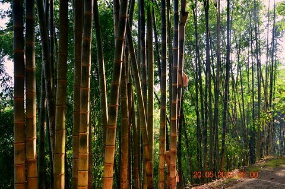 bamboo by Andi kho
