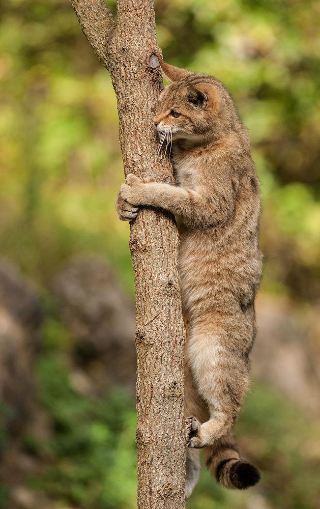 Wildcate by helmutstirnweis