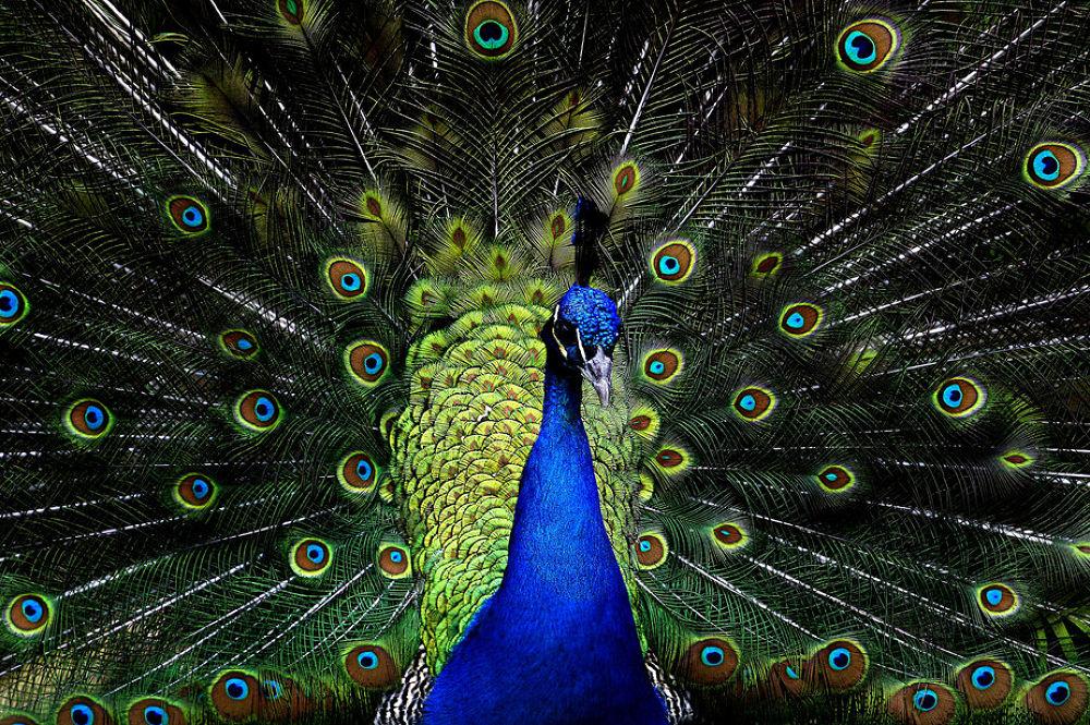 Photo in Animal #peacock
