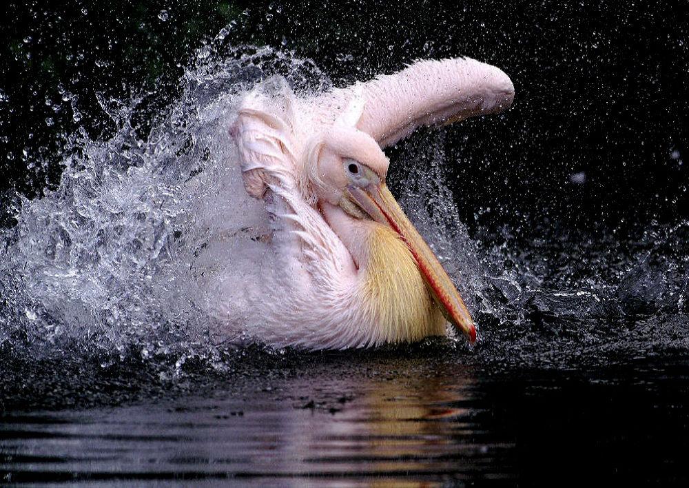 Pelikan by helmutstirnweis