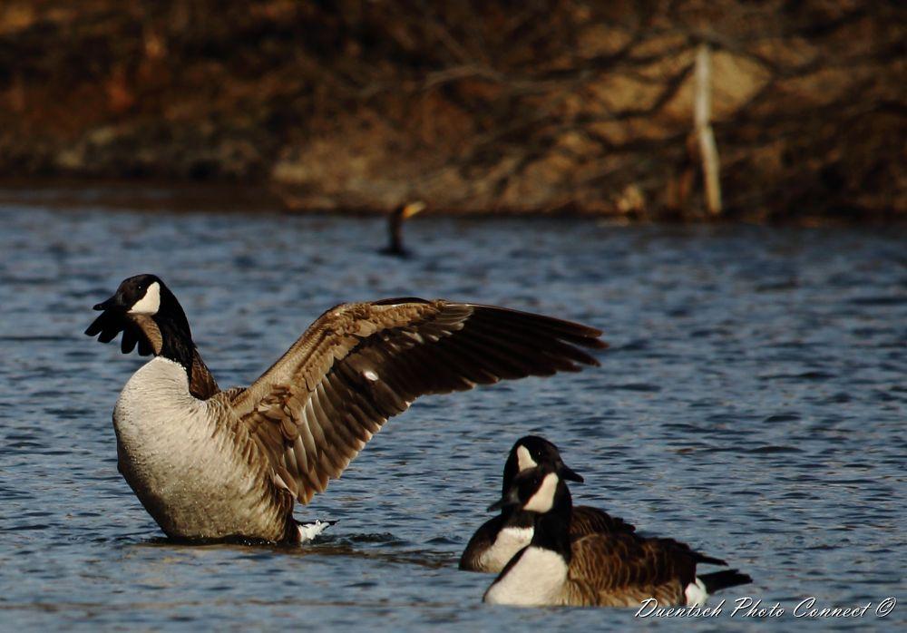 Photo in Random #goose #nature #canadagoose