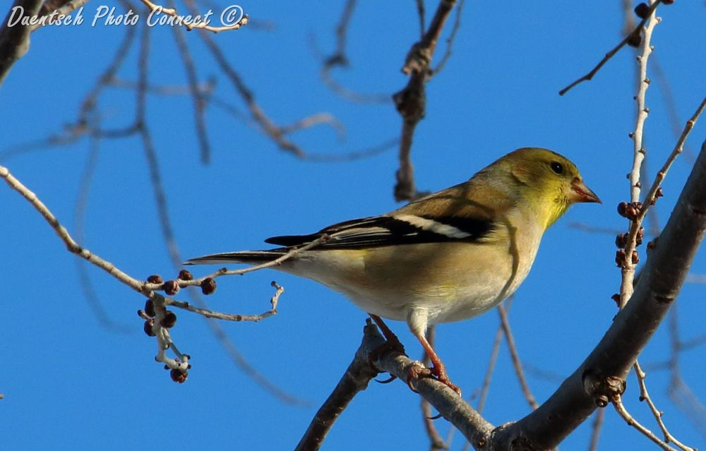 Fem Goldfinch by Duentsch Photo Connect