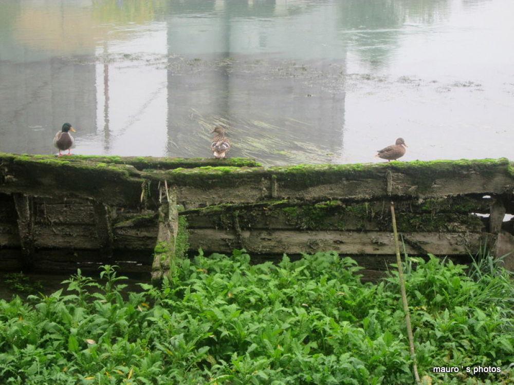 ducks on wreckage by maurobarsi7