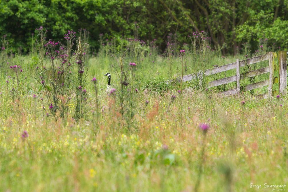 Photo in Nature #goose #dutch garden #nature