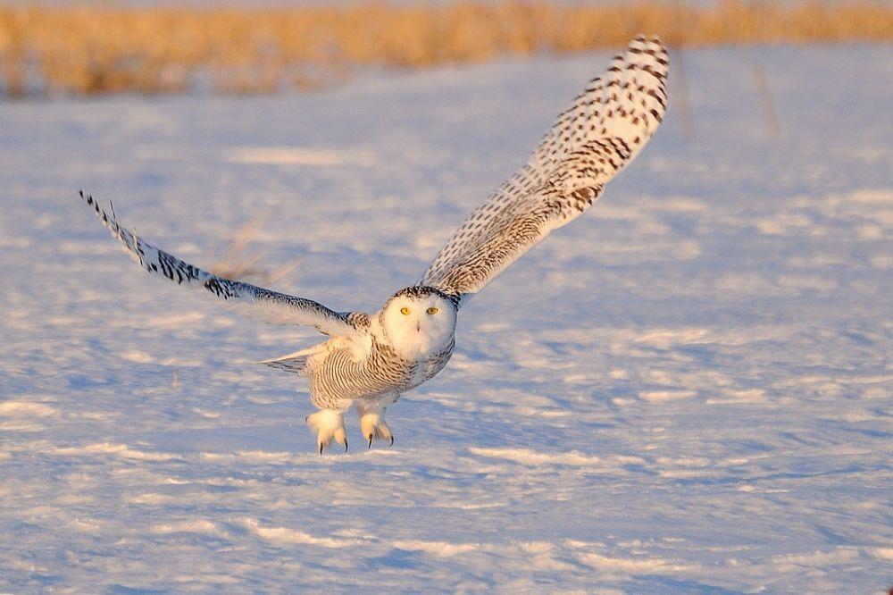 Snowy Owl by rollandgelly