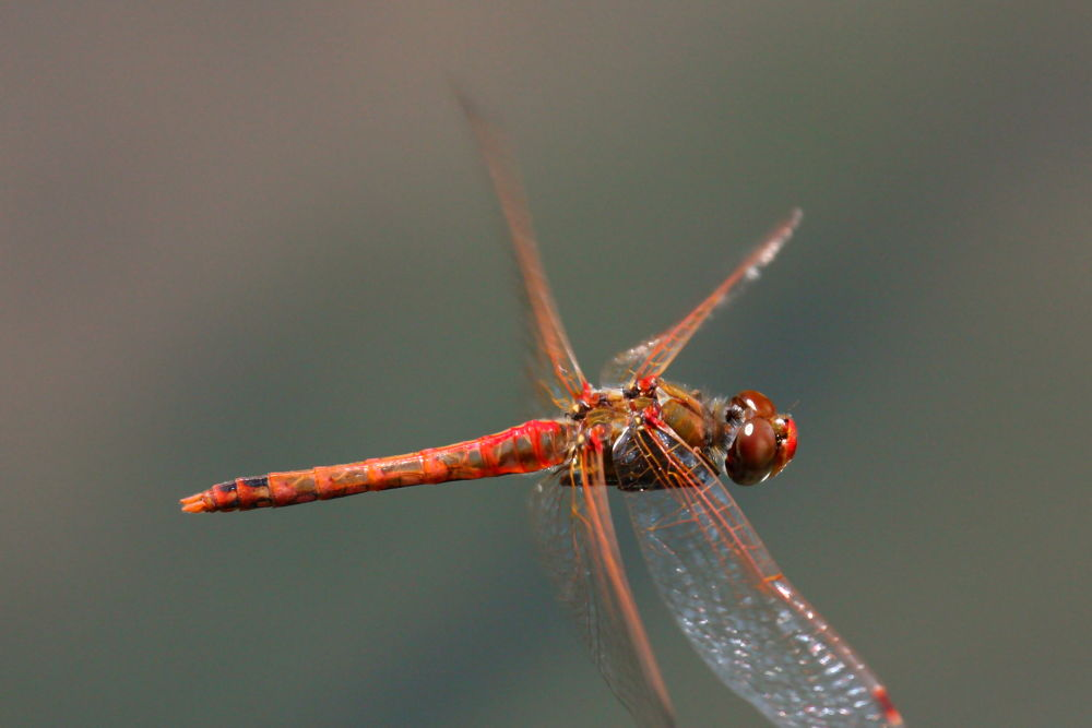 Red Dragonfly in Flight by pjmartojr