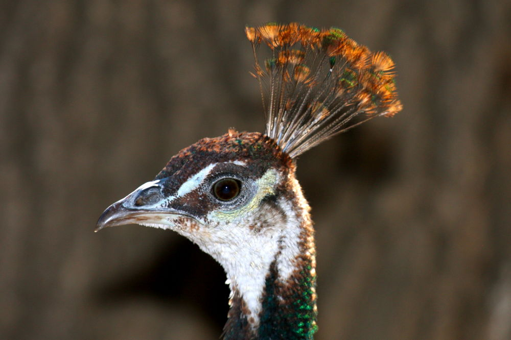 Peacock Profile by pjmartojr