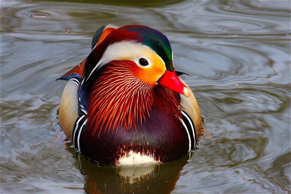Mandarin Drake by pjmartojr