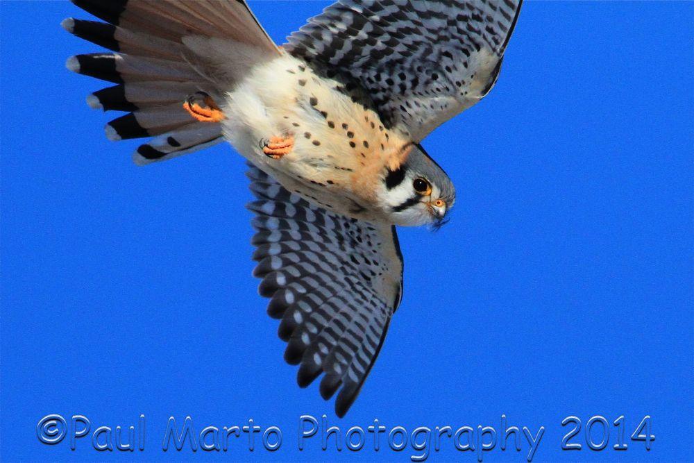 Photo in Animal #kestrel #birds of prey #kestrel in flight #birds in flight #raptors #small falcons