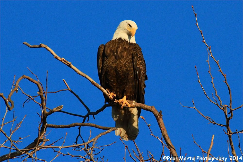 Bald Eagle by pjmartojr