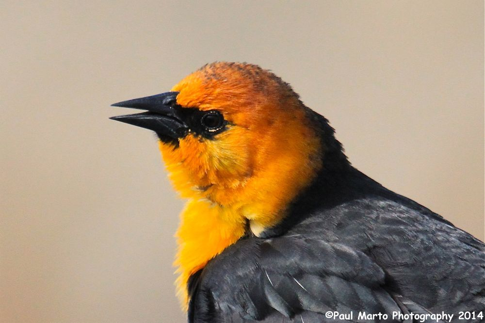 Yellow-headed Blackbird by pjmartojr