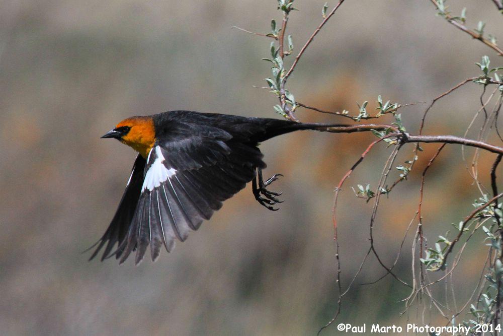 Blackbird in Flight by pjmartojr